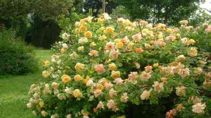 Magnifico cespuglio di rose