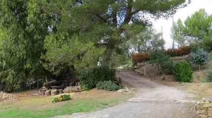 Pinus Halepensis o Pino d'Aleppo