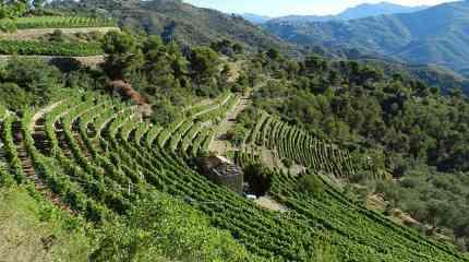 Codice:706 - Bordighera, terreni con vigne produttive di vino Rossese DOC